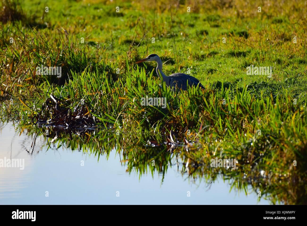 Heron on the riverside in Aller South Somerset Uk - Stock Image