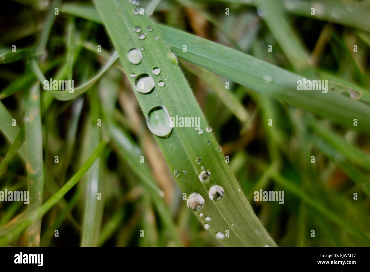 Close up of water drops on a green blade of grass. - Stock Image