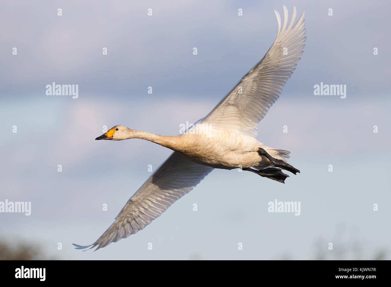 Aerial close up capturing arrival of first Bewick's swan (Cygnus columbianus) in flight, heading to winter at Slimbridge Stock Photo