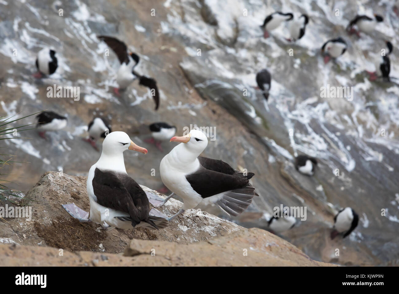 Two black-browed albatross (Mollymawk) courting - Stock Image
