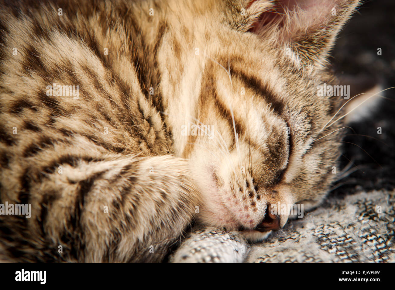 Adorable tabby rescue kitten fast asleep in her new home - Stock Image