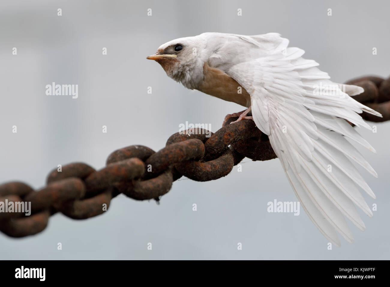 Barn Swallow ( Hirundo rustica ), fledged, rare gene mutation, white plumage, leucistic, leucism, perched on massive - Stock Image