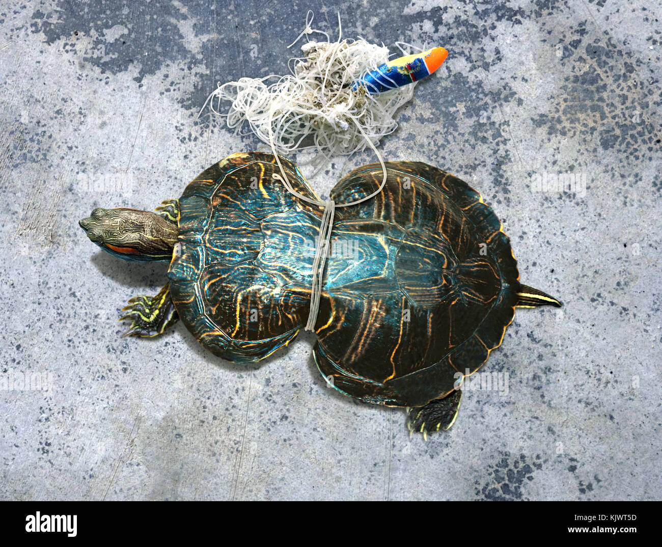 Red-eared slider, Trachemys scripta elegans, entangled with fishing gear. Notice the deformed shell because its - Stock Image