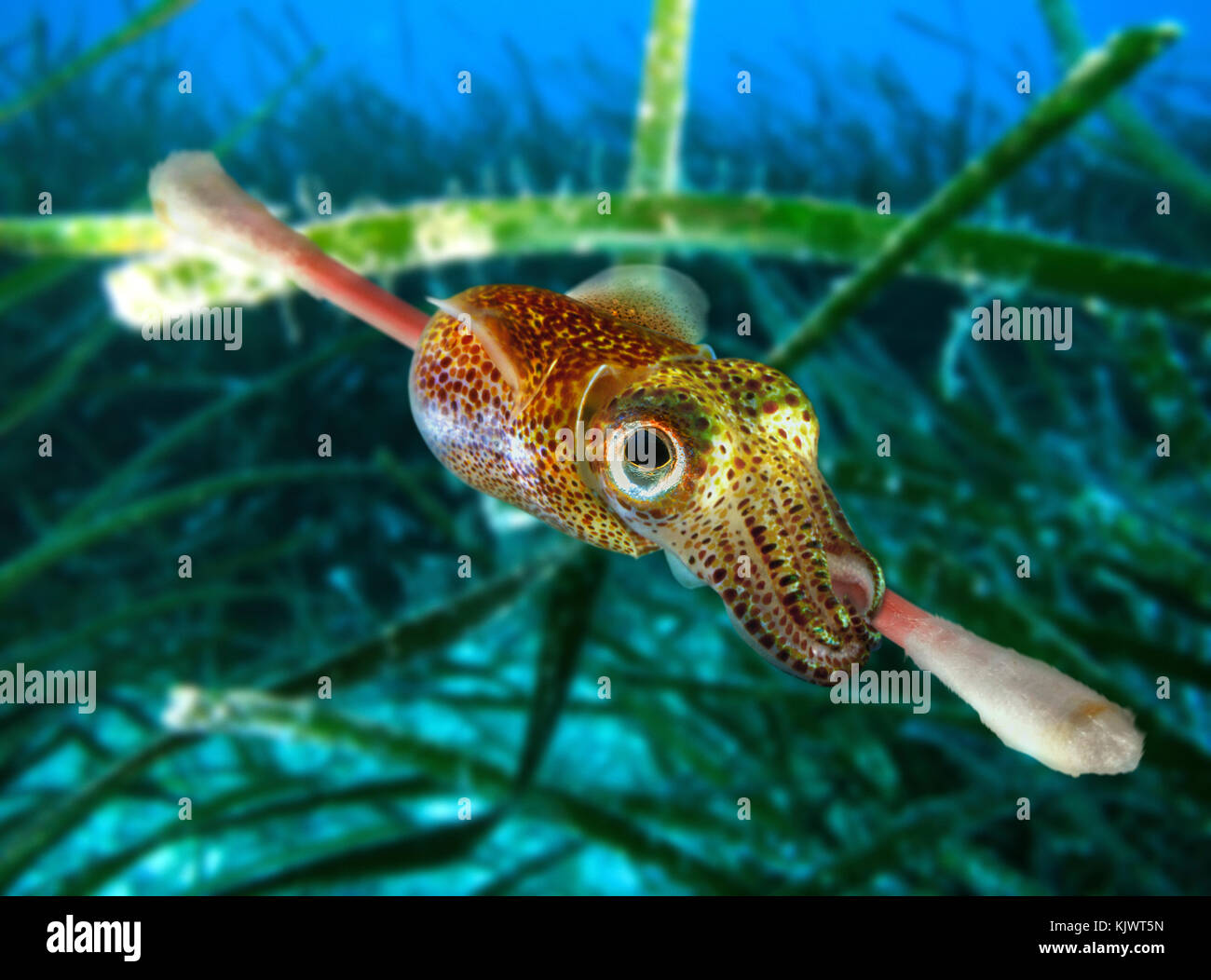 Atlantic bobtail, Sepiola atlantica, latching onto a cotton swab. This small squid feed usually on young fish and - Stock Image