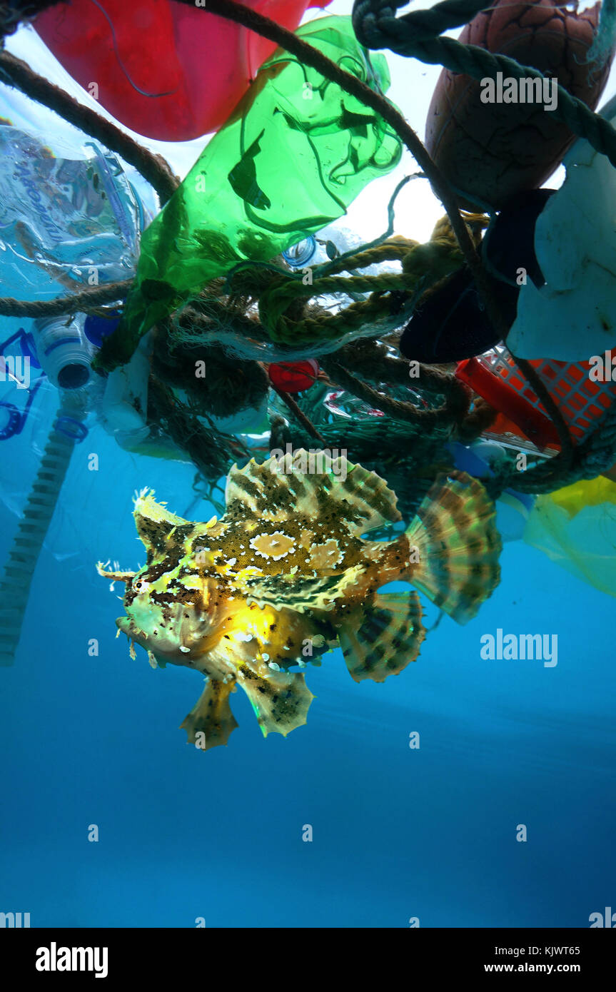 Sargassum fish, Histrio histrio, in the middle of floating garbage. This species lives among Sargassum seaweed which - Stock Image