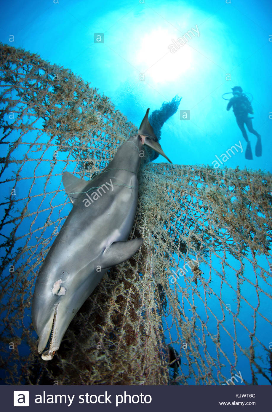 Dead Bottlenose dolphin, Tursiops truncatus, entangled on nylon ropes and lost fishing net. Nylon cables and nets - Stock Image