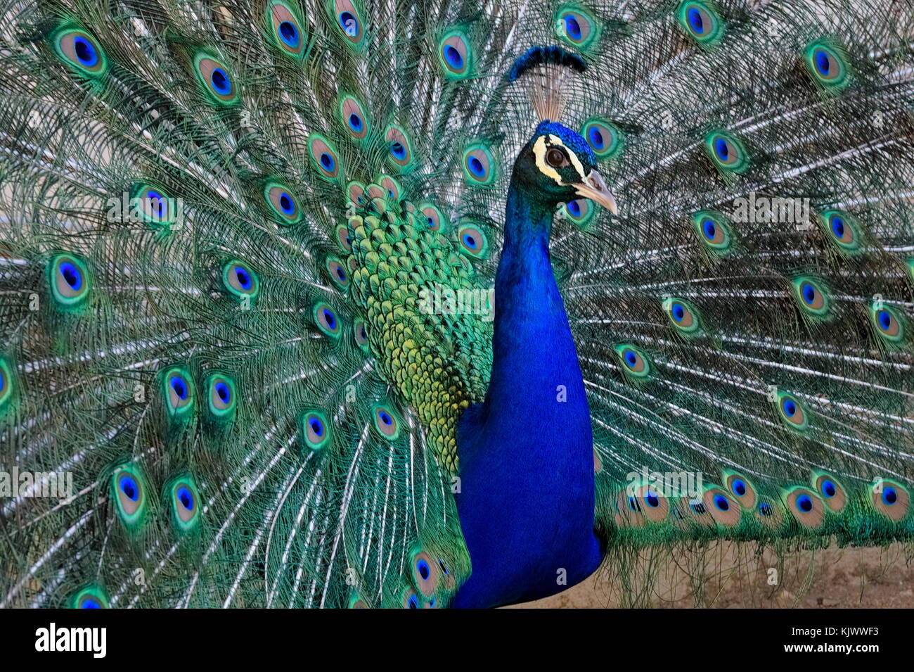 Close up of male peacock (peafowl), showing its beautiful feathers. - Stock Image