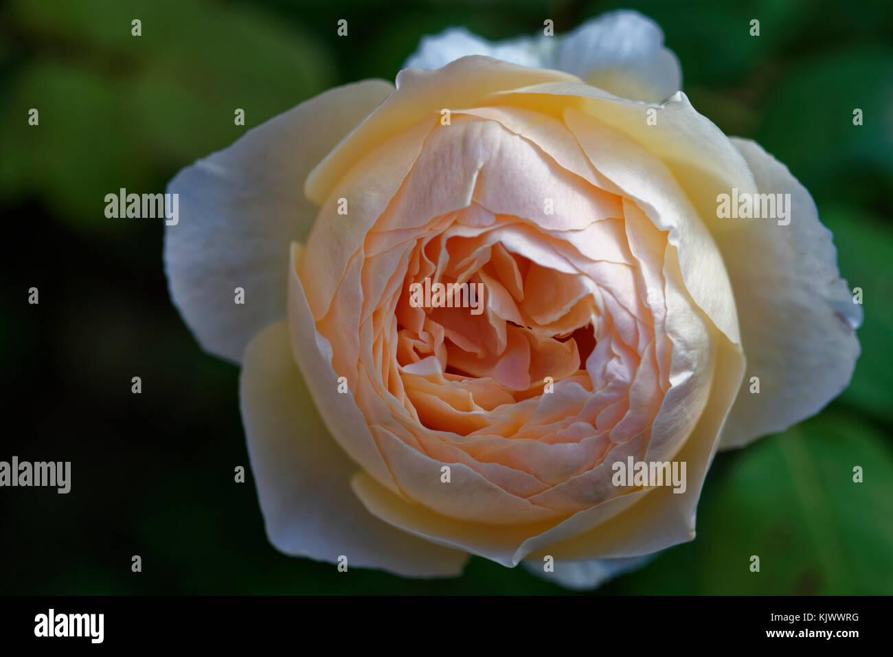 The name of this English Old Rose Hybrid is 'Jude the Obscure'. - Stock Image