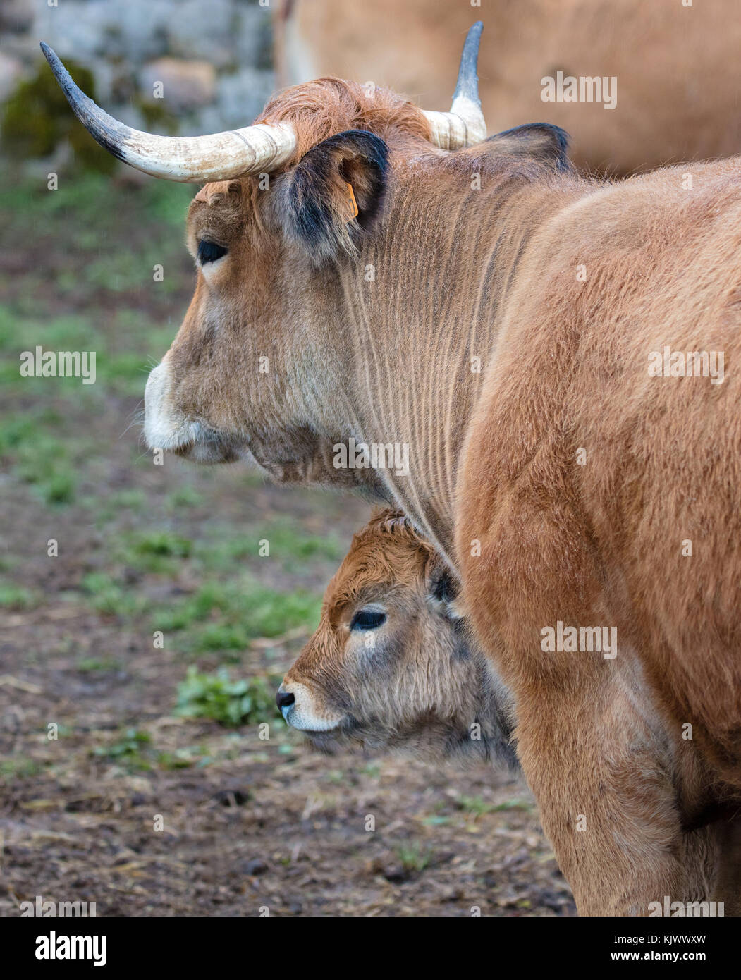 Catalonian cow and her calf standing in the rain in a muddy field in northern Spain - Stock Image