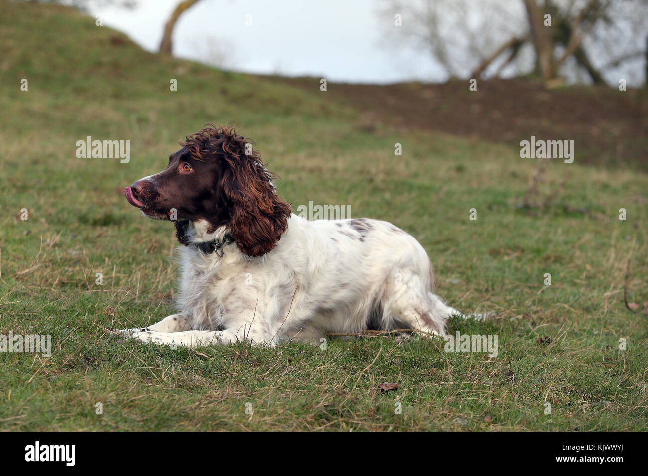 Spaniel - English Springer English Springer Spaniel English Springer - Stock Image