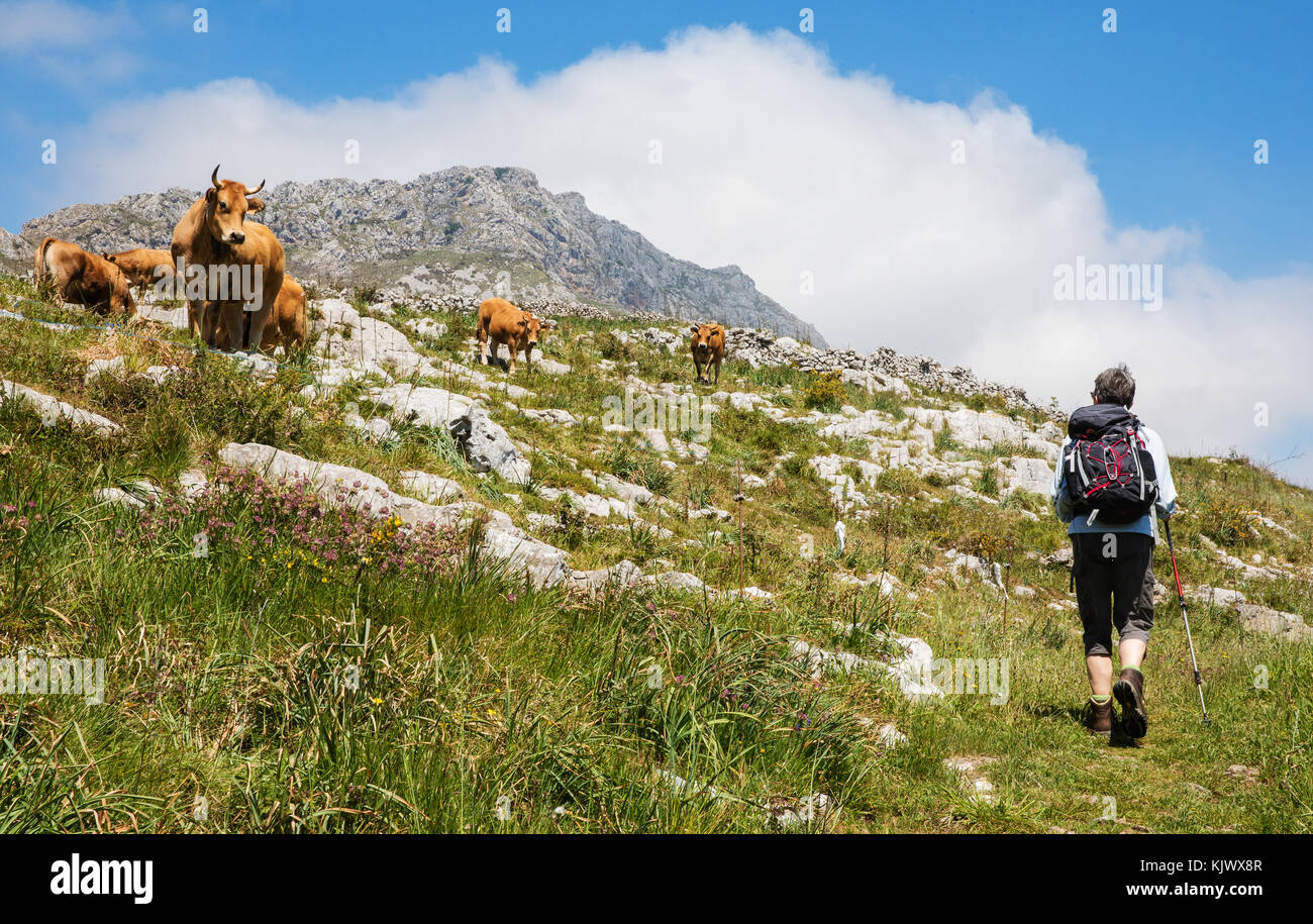 A female walker passing a herd of cows in high pasture land near Arriondas in the foothills of the Picos de Europa - Stock Image