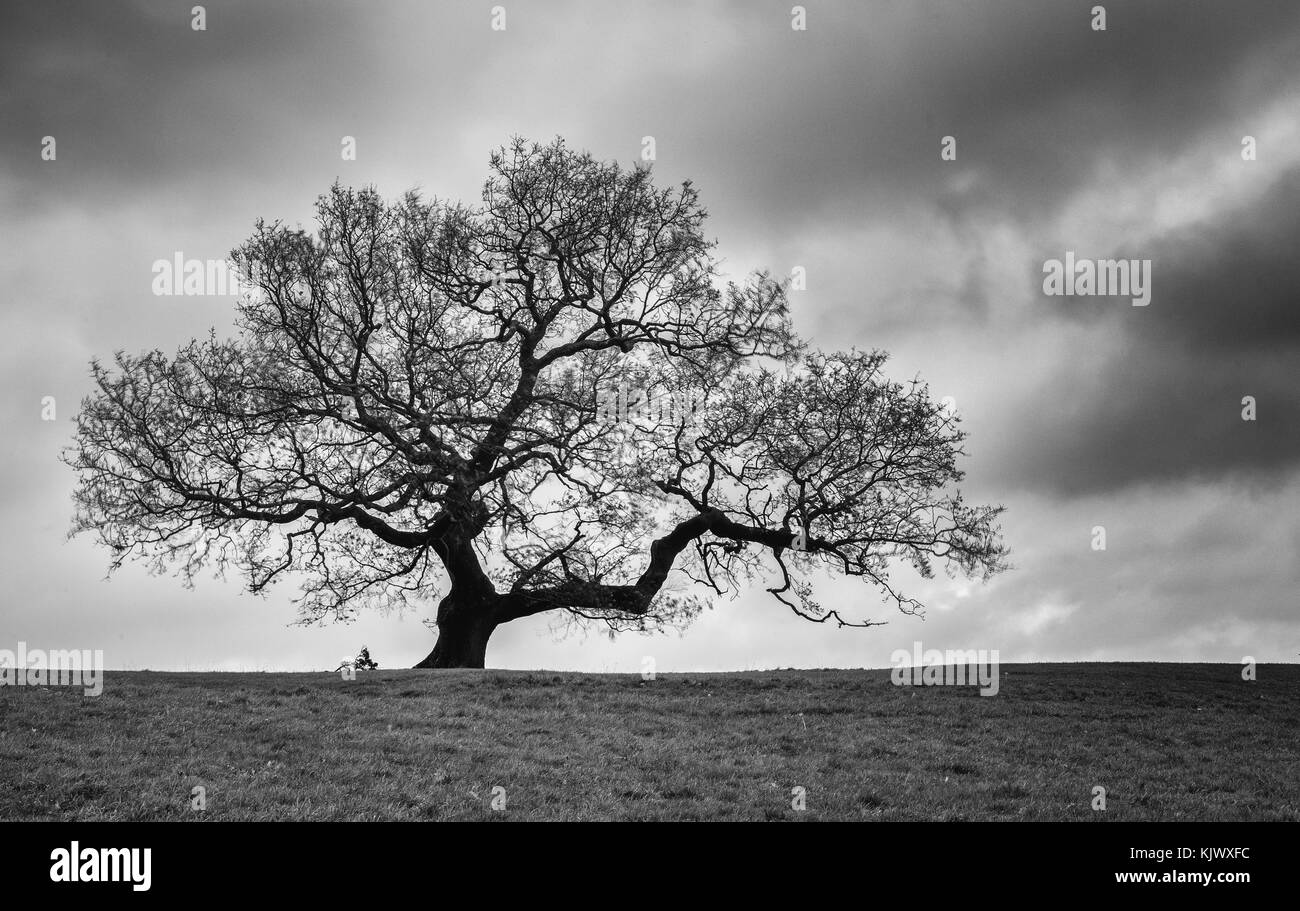 Lone oak tree in dormant winter phase with cloudy sky - Ashton Court Bristol UK ( mononchrome image ) - Stock Image