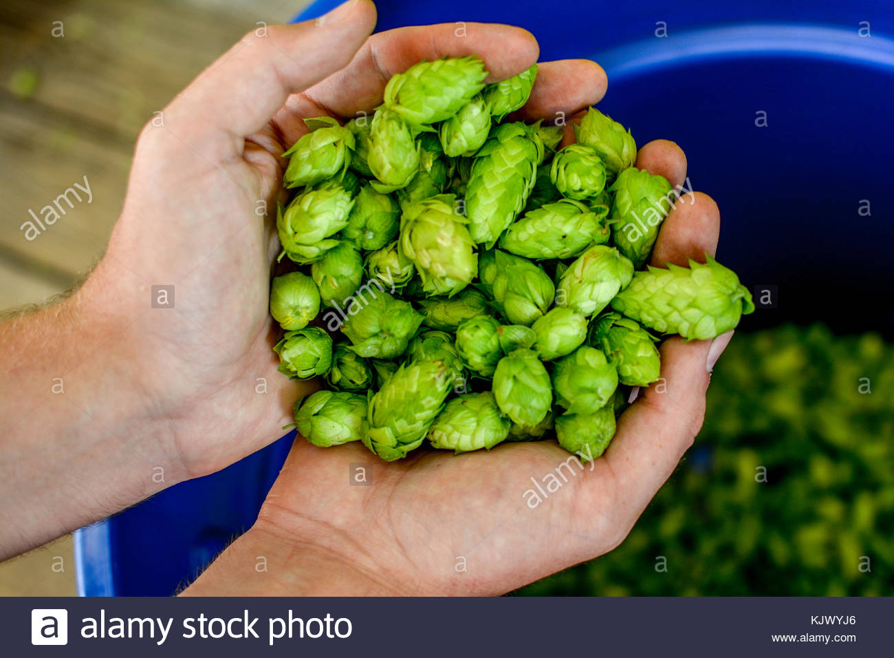 A handful of hops picked fresh from the bine, ready to be used in a microbrew. - Stock Image