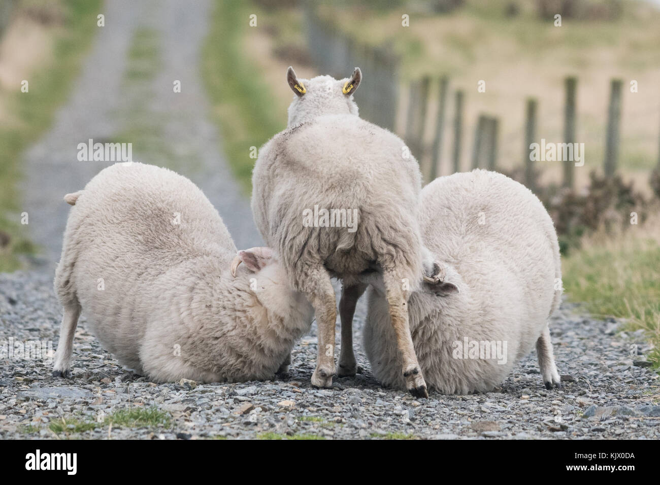 Sheep - large lambs suckling from ewe or dam in Scotland - Stock Image