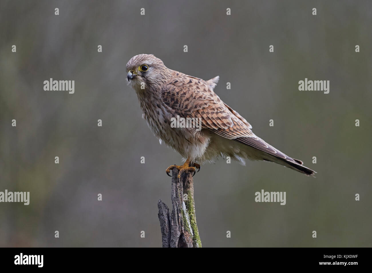 Kestrel, Falco tinnunculus, resting on a wooden perch, East Yorkshire, UK. - Stock Image