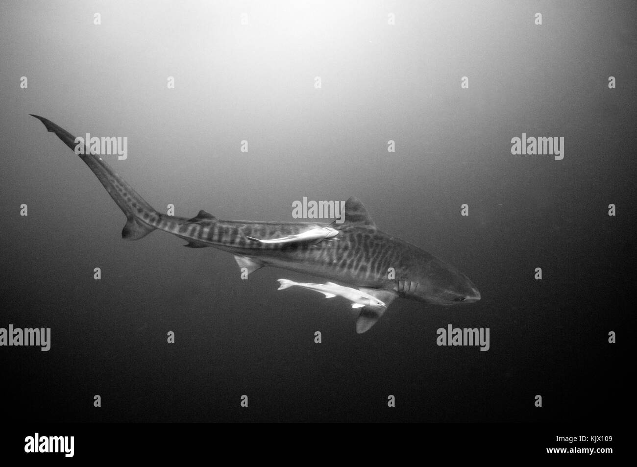 Tiger shark (Galeocerdo cuvier) off the coast of South Africa Stock Photo