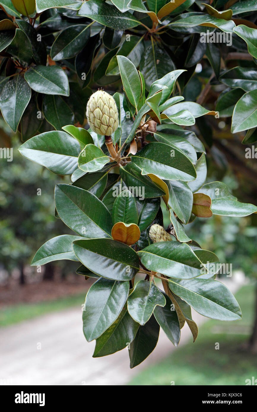 The Immature Fruit Or Burr Of A Southern Magnolia Tree On The