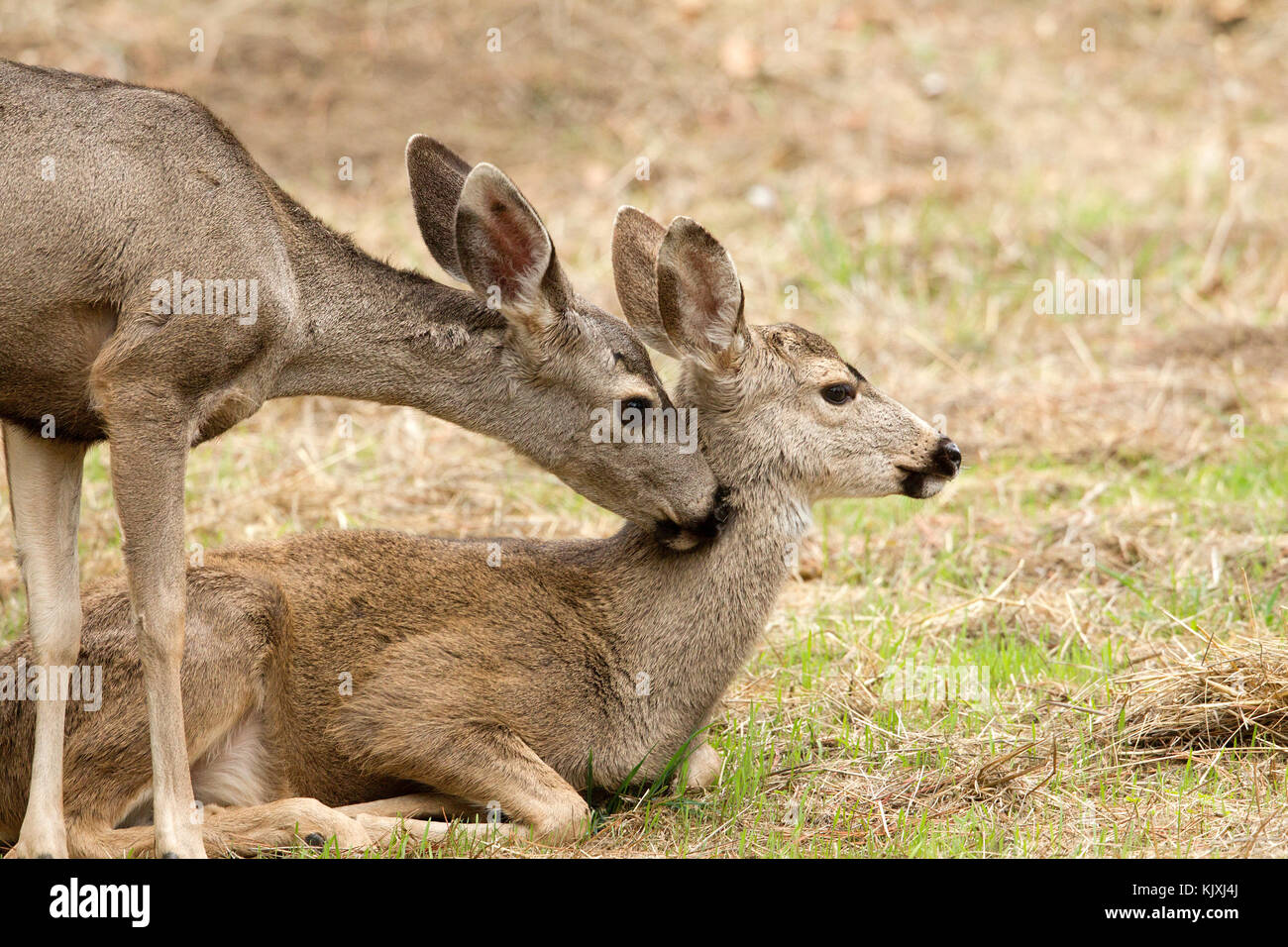 Black tailed Deer Doe Nuzzling Fawn - Stock Image