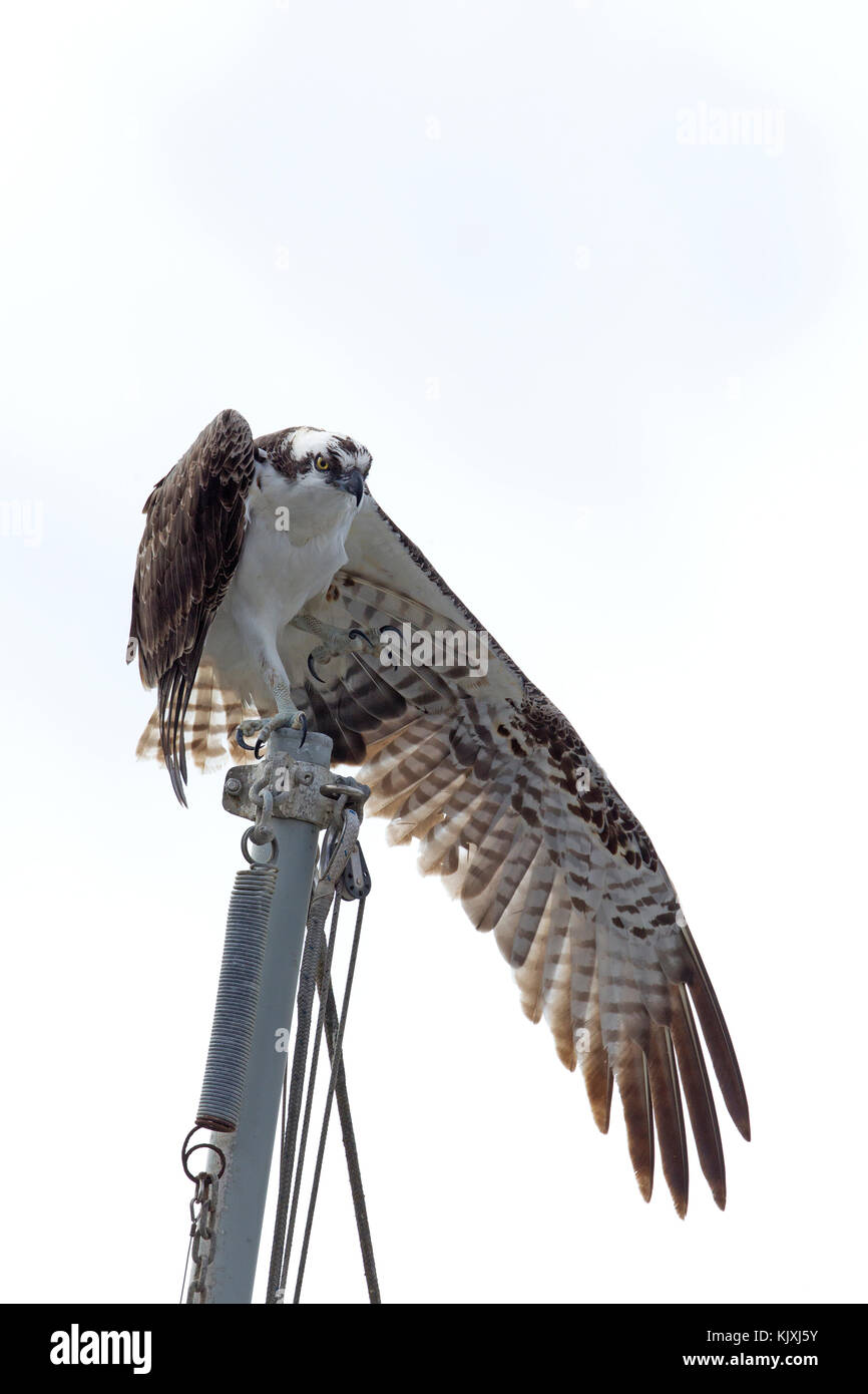 Osprey Stretching one Wind Downward - Stock Image