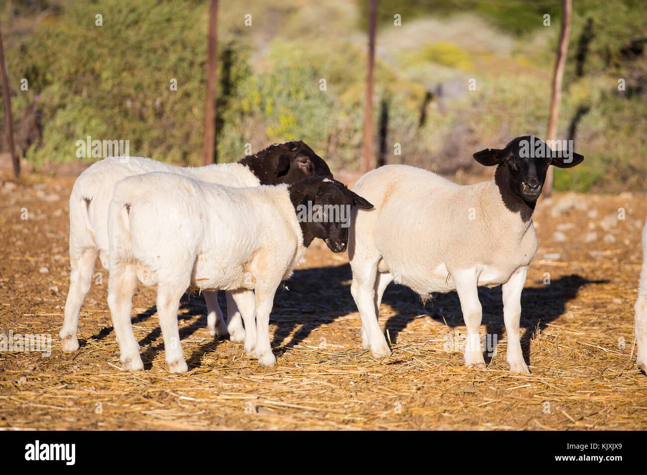 Dorper Sheep Rams on a dorper sheep stud farm in the Tankwa karoo in South Africa - Stock Image