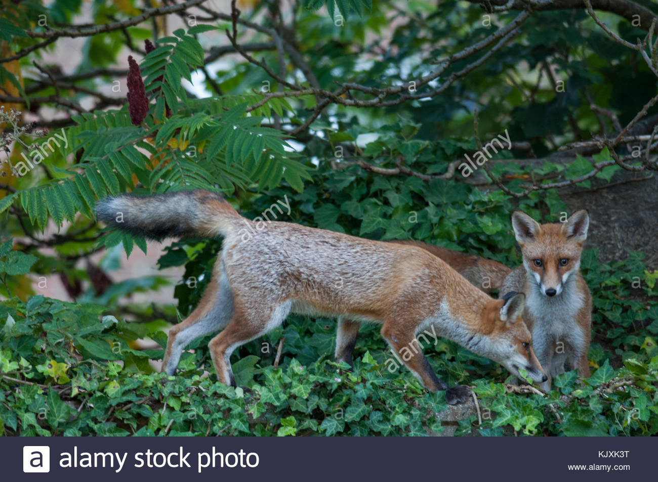 two Red Foxes, Vulpes vulpes, look for food scraps in a garden, London, United Kingdom - Stock Image