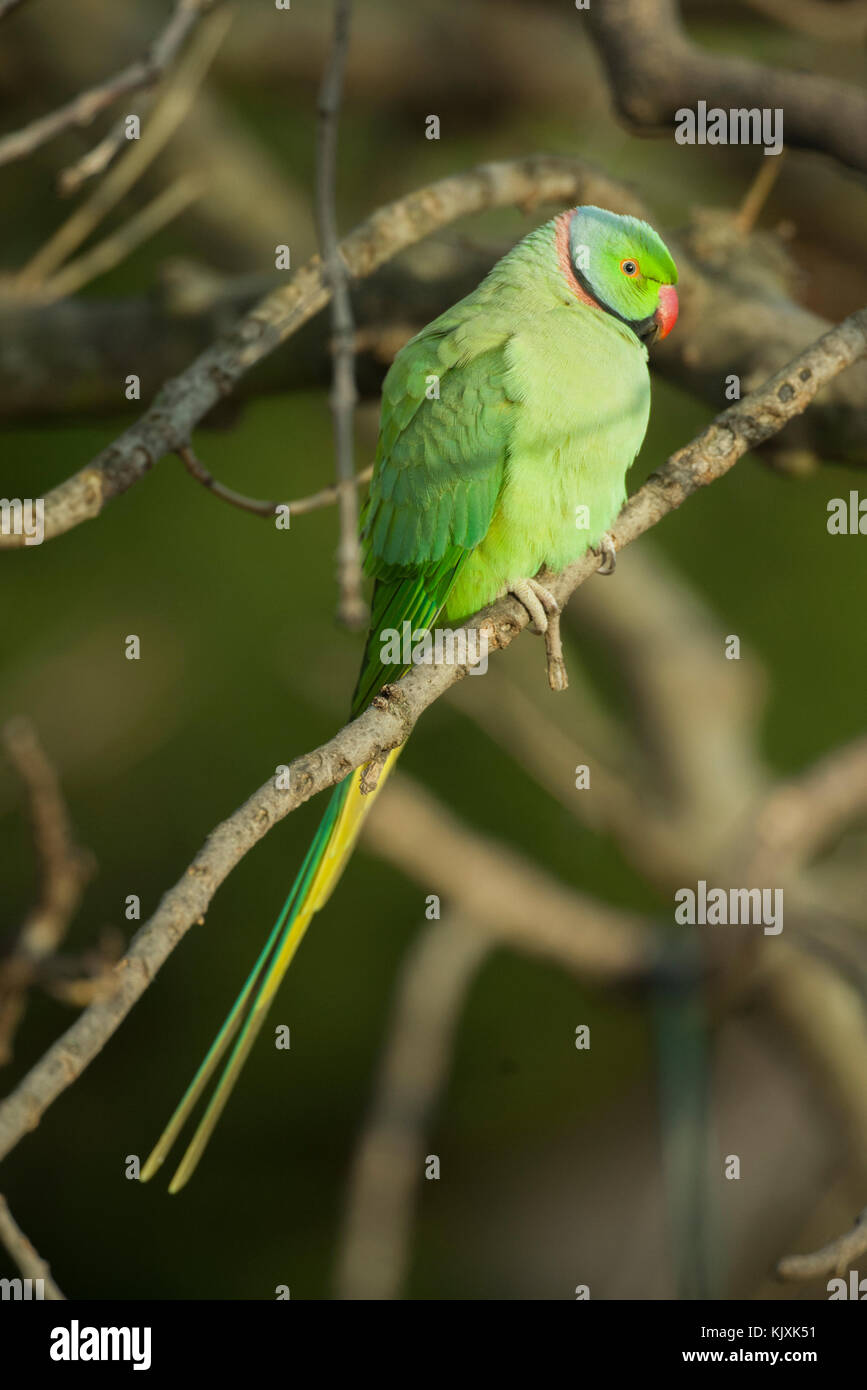 male Ring necked parakeet, (Psittacula krameri), or Rose ringed parakeet, London, United Kingdom - Stock Image