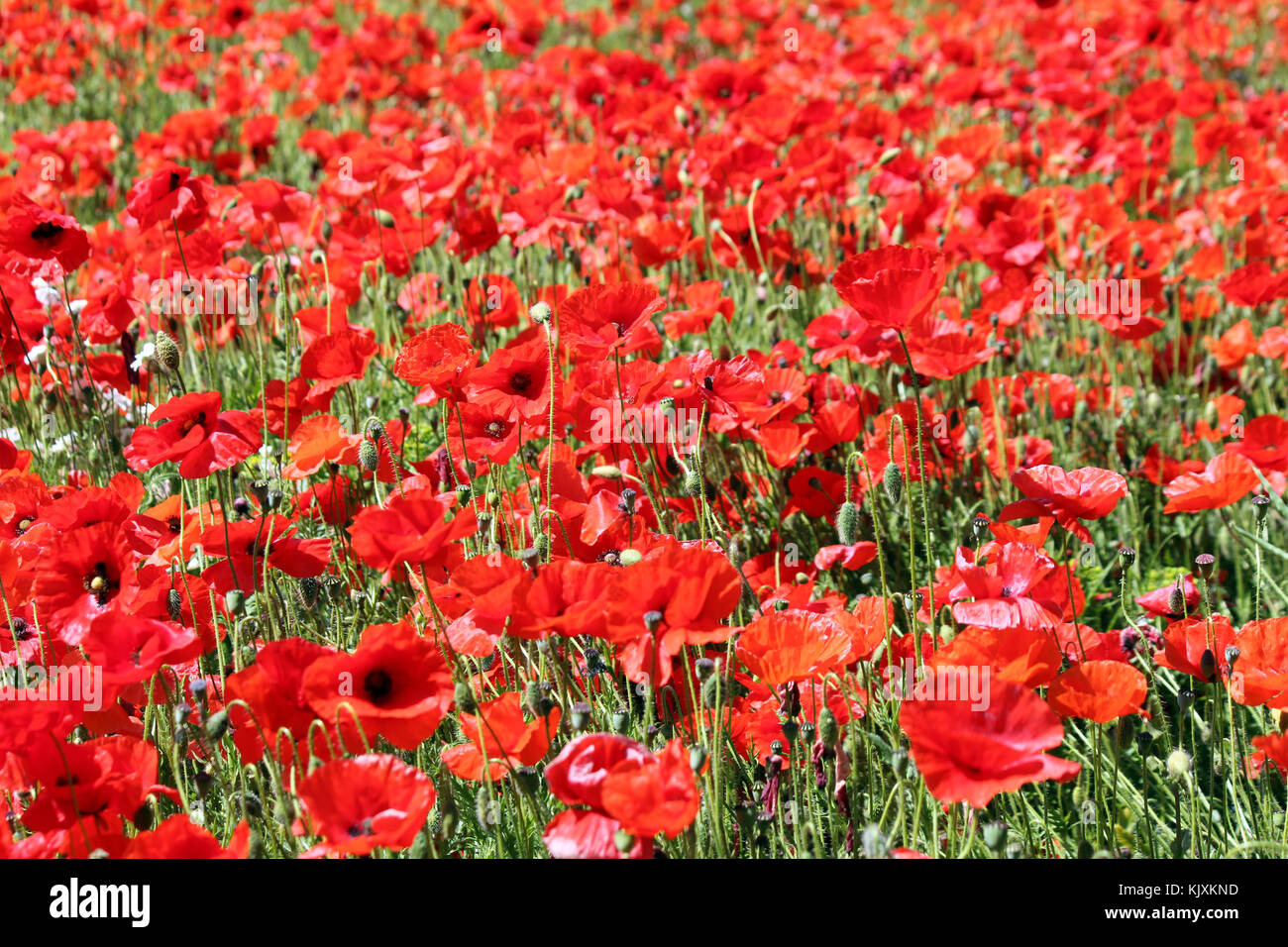 Poppies are many people's favourite flowers. Bright, spectacular when massed in fields and most beautiful when - Stock Image