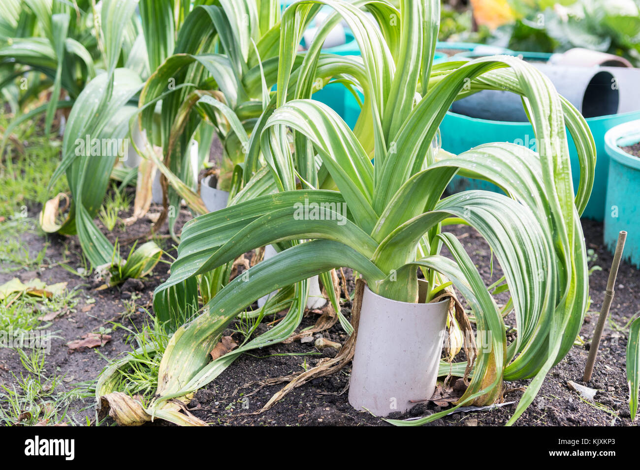 blanching leeks by growing in pipes - Stock Image