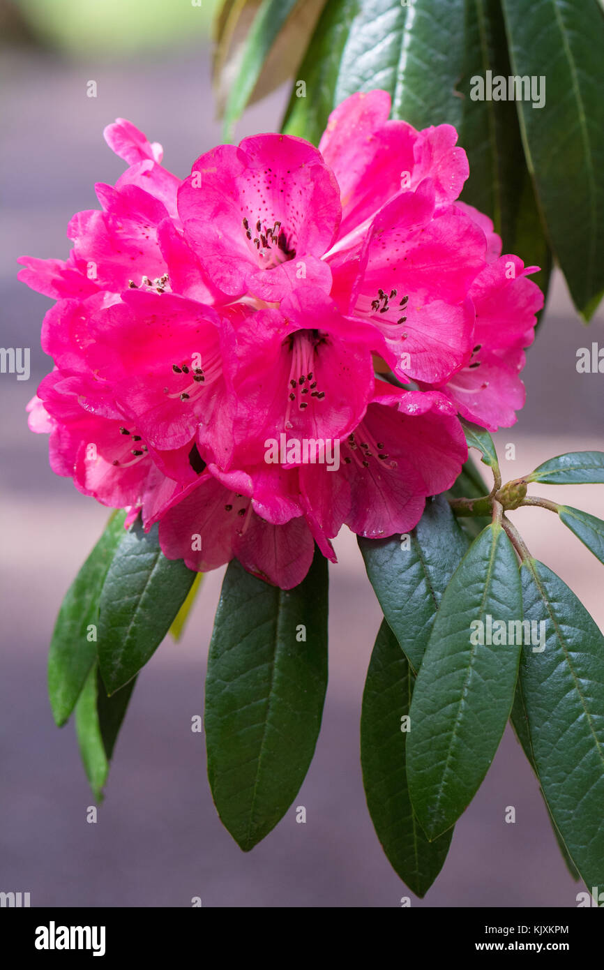 Large tree like rhododendron - Rhododendron arboreum - flower - Stock Image