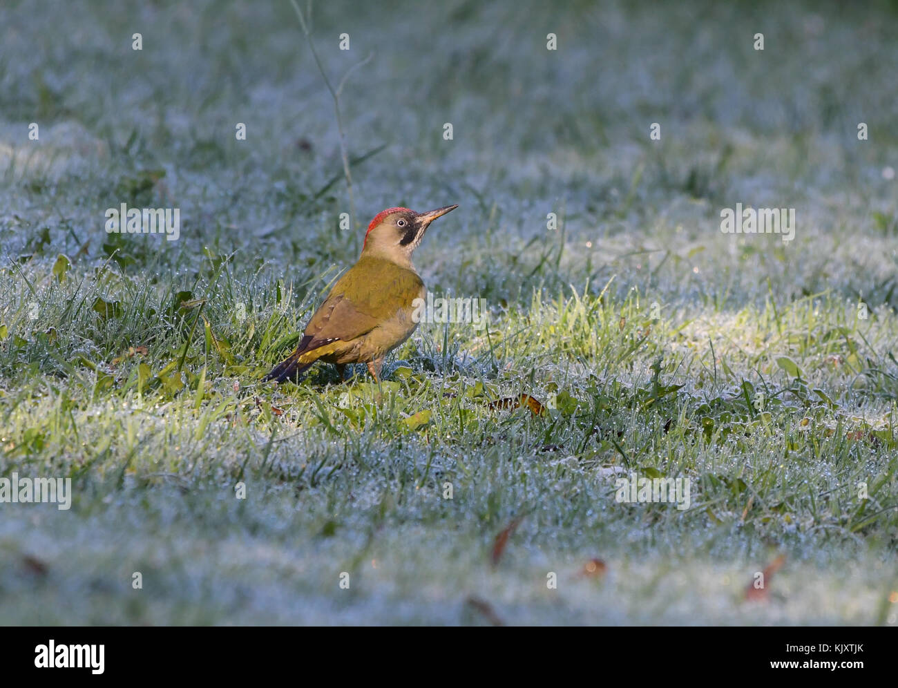 Green woodpecker in the countryside with dew - Stock Image