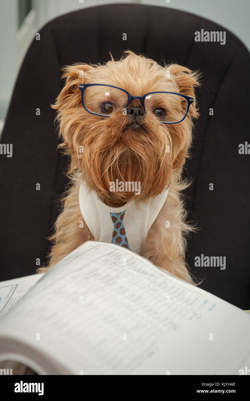Serious dog in glasses working at office with documents - Stock Image