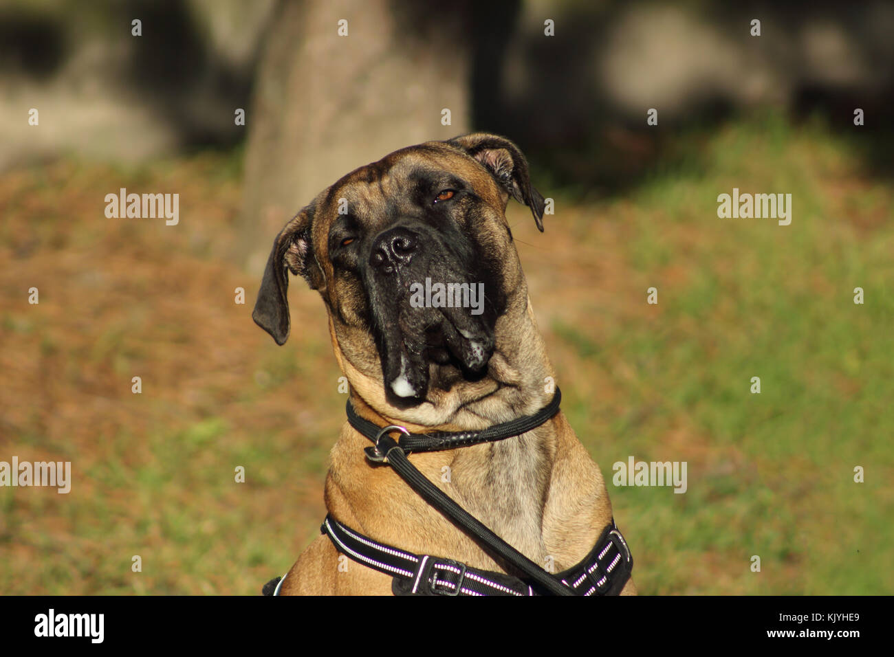 portrait of a  cane corso dog with tender eyes and mouth filled with drool - Stock Image