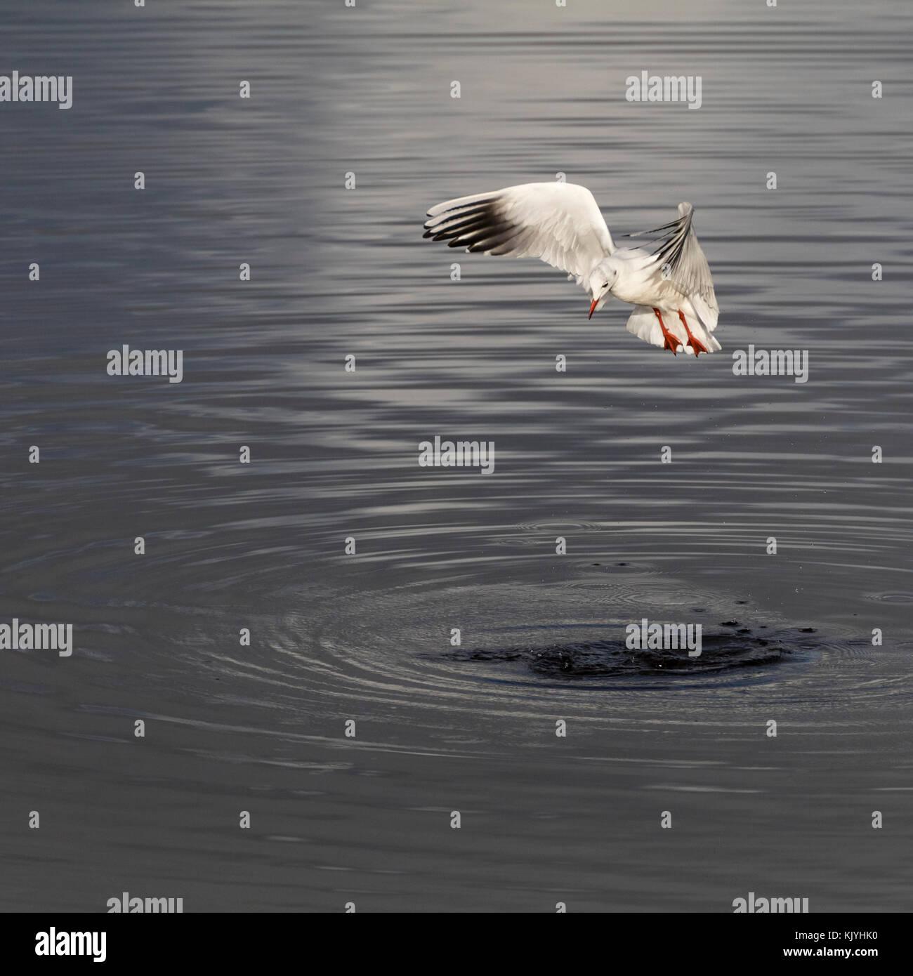 Black headed gull, Chroicocephalus ridibundus, in winter plumage, hovering to spot fish in the tidal estuary of - Stock Image