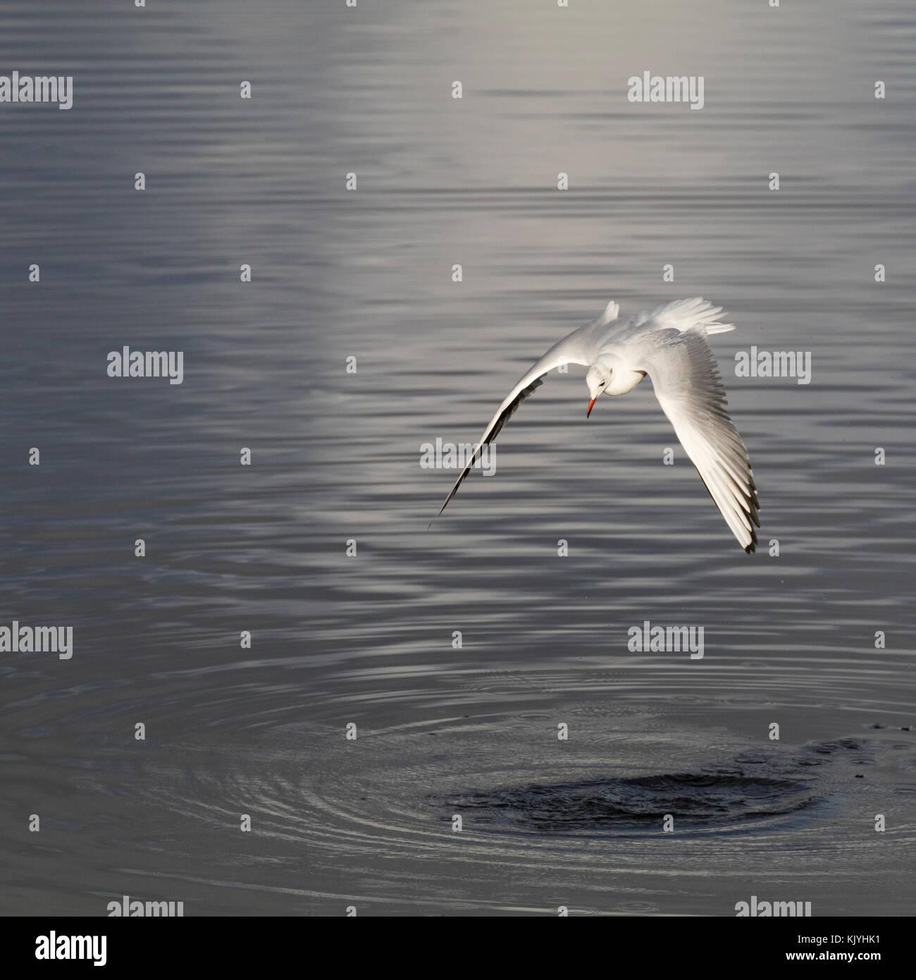 Black headed gull, Chroicocephalus ridibundus, in winter plumage, diving to fish in the tidal estuary of the River - Stock Image