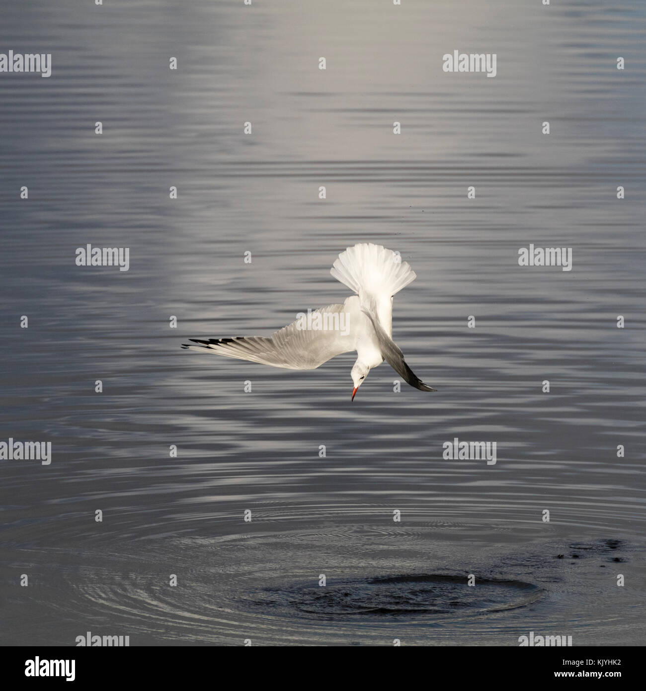 Black headed gull, Chroicocephalus ridibundus, in winter plumage, diving to fish in the tidal estuary of the River Stock Photo