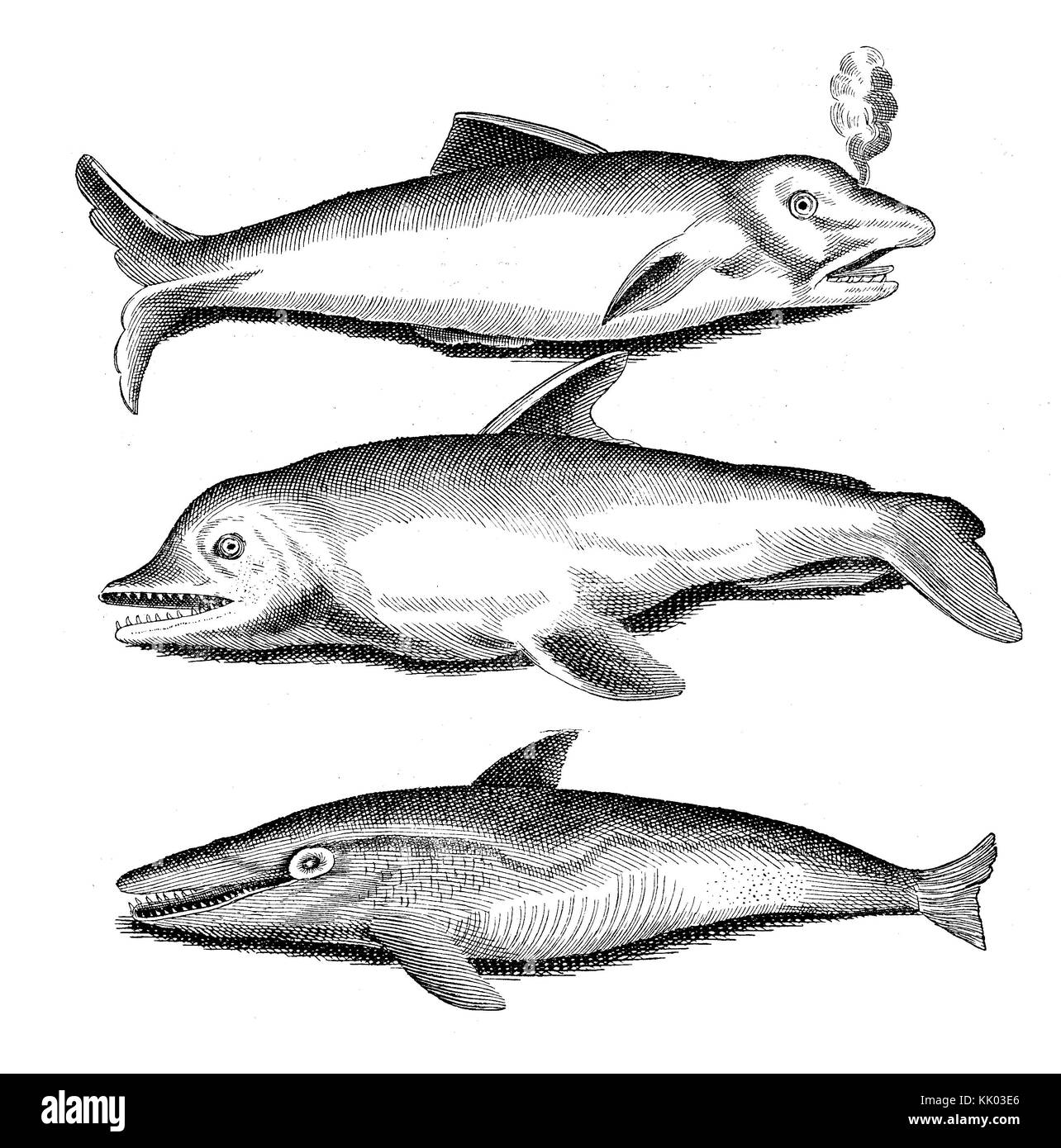 Aquatic life: vintage engraving of dolphin species, year 1718 - Stock Image