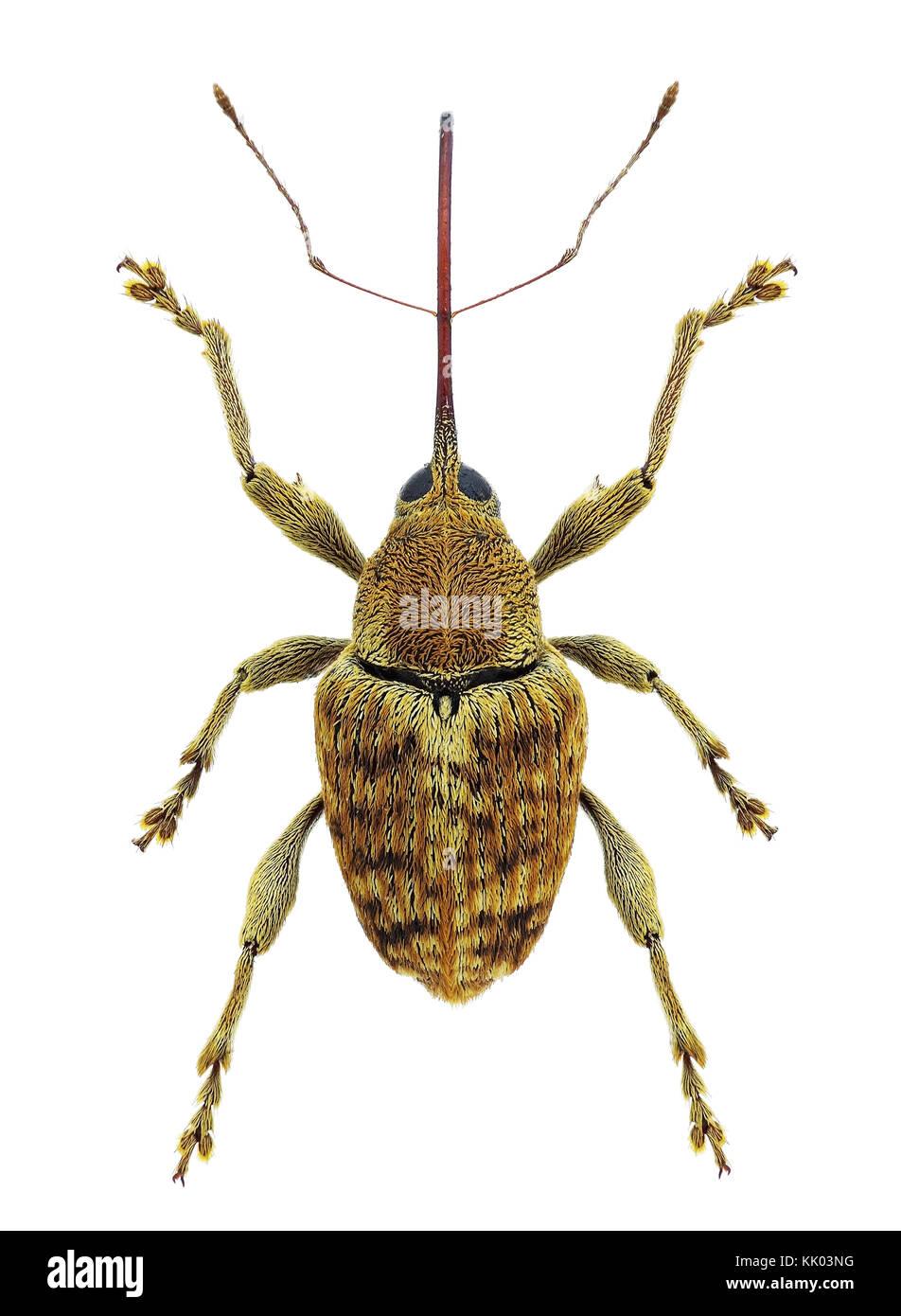 Curculio pellitus weevil, a mediterranean species - Stock Image