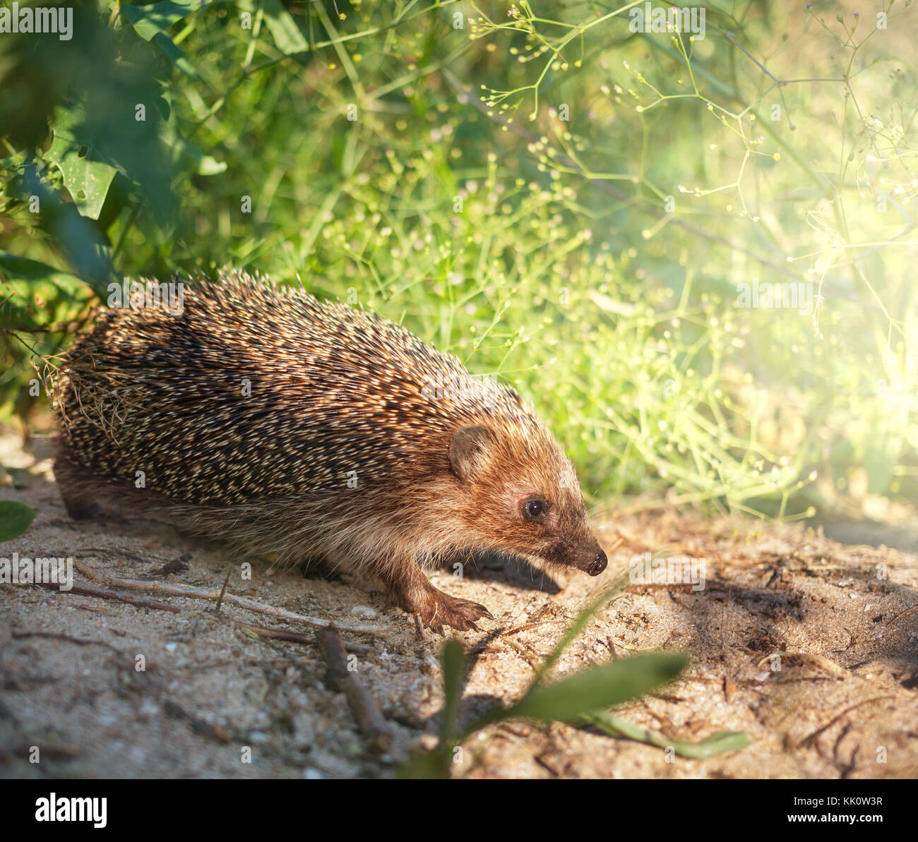 Hedgehog - Stock Image