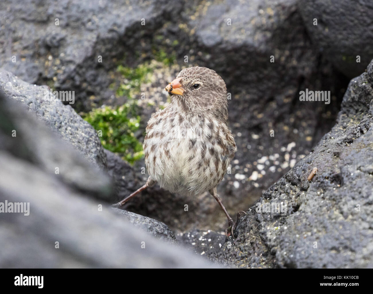 Medium Ground Finch, adult female, ( Geospiza fortis ), Espanola Island, Galapagos Islands, Ecuador South America - Stock Image