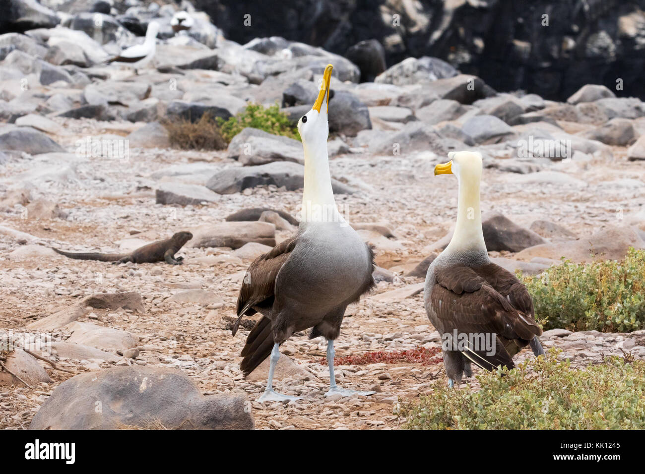 Galapagos Albatross, or Waved Albatross, ( Phoebastria irrorata ),pair courting; Espanola Island, Galapagos Islands - Stock Image