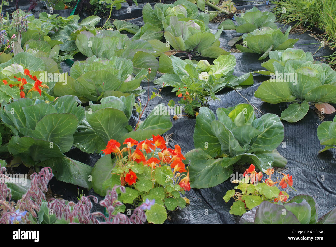 Growing cabbages and nasturtiums on an allotment site, Scotland - Stock Image
