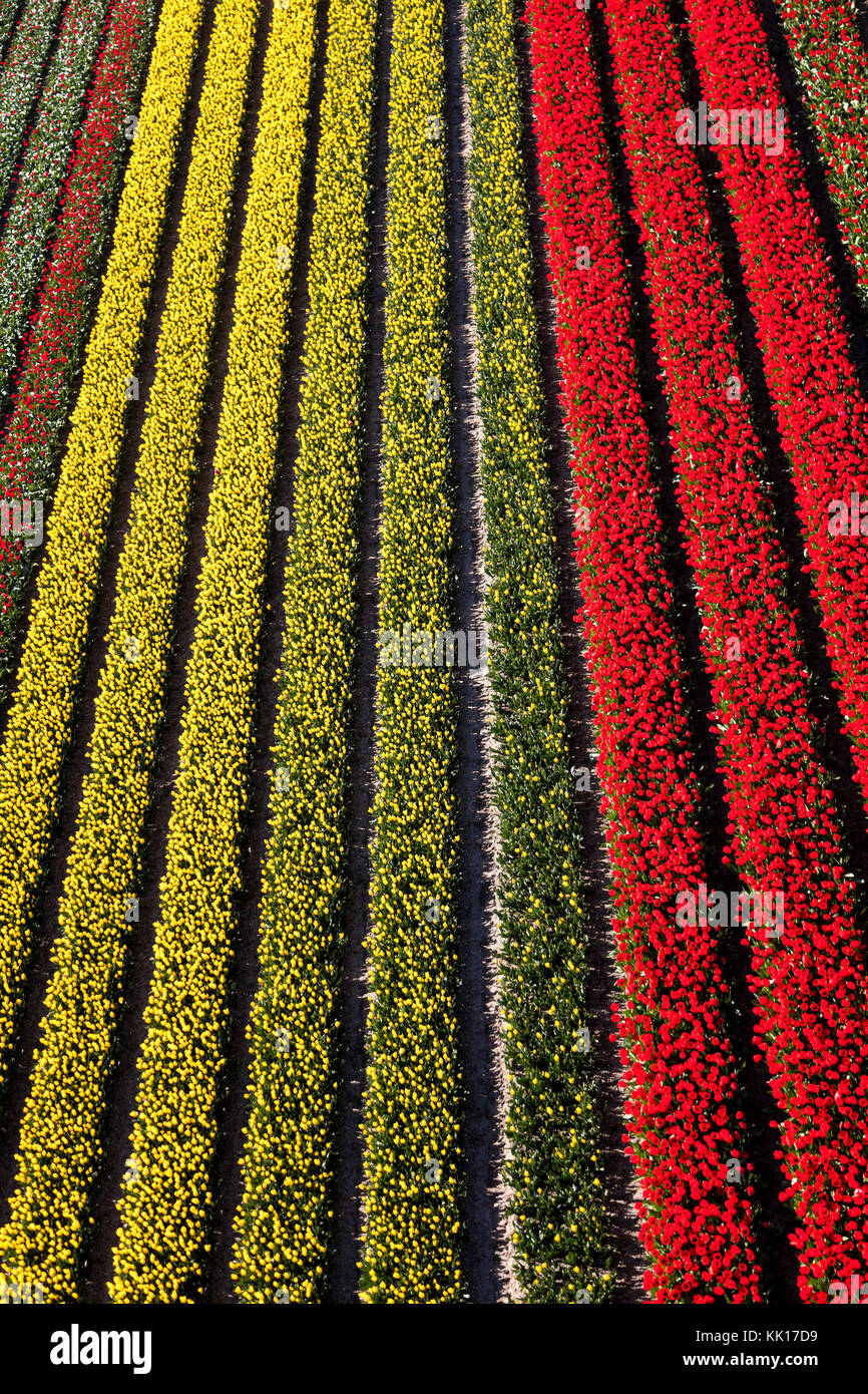 Aerial view of the tulip fields in North Holland, The Netherlands Stock Photo
