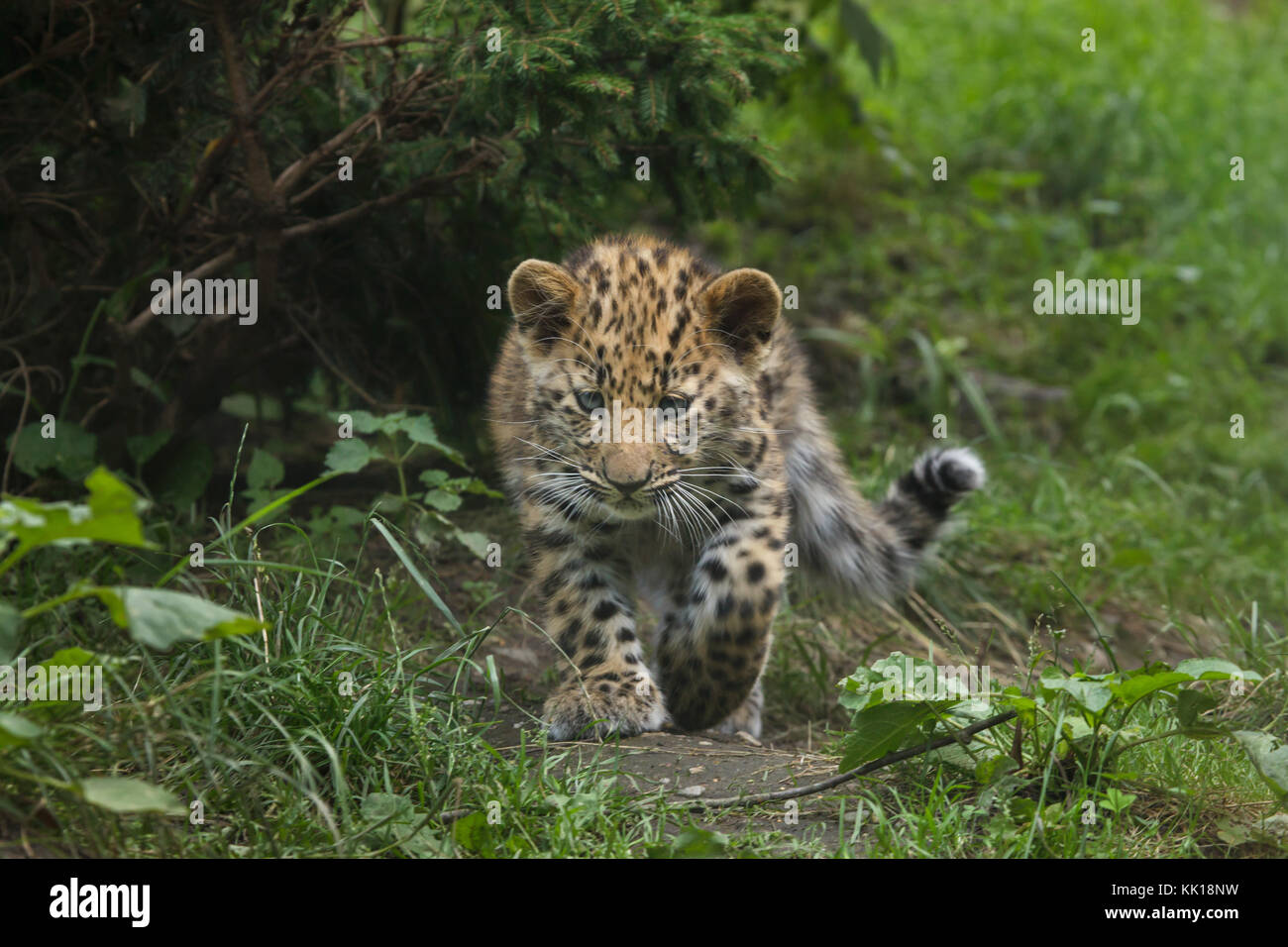 Three-month-old Amur leopard (Panthera pardus orientalis) at Leipzig Zoo in Leipzig, Saxony, Germany. Two Amur leopards Stock Photo