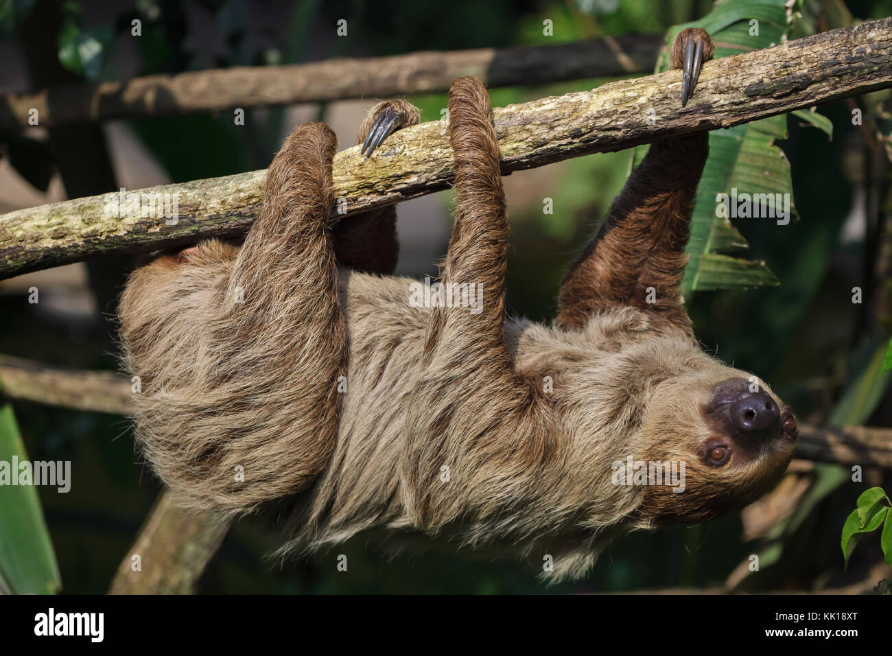 Linnaeus's two-toed sloth (Choloepus didactylus), also known as the southern two-toed sloth. Stock Photo