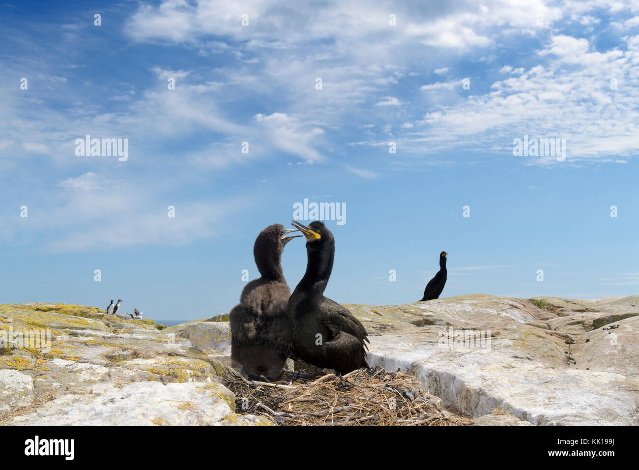 Wide angle shot of European shag (Phalaccrocorax Aristotelis) with chick at nest, Farne Islands, Northumberland, - Stock Image
