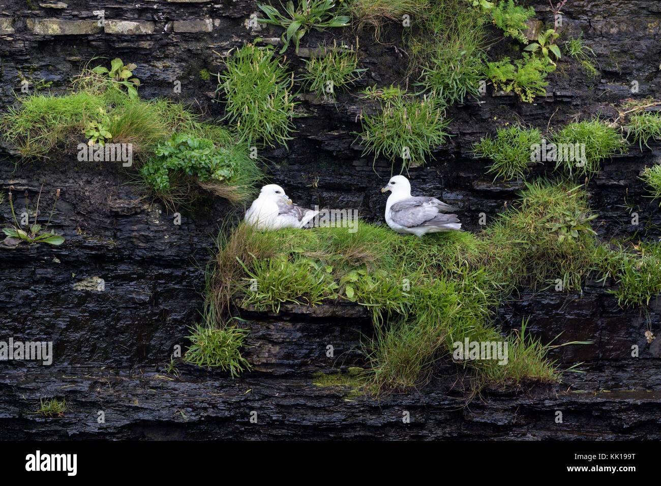 Northern Fulmar (Fulmarus glacialis) adult pair, nesting on cliff ledge, Skirza head, Scotland, UK - Stock Image