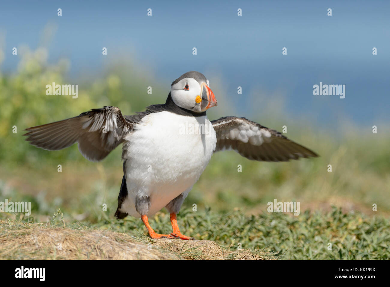 Atlantic puffin (Fratercula arctica) standing on cliff edge, flapping wings, Farne Islands, Northumberland, England, - Stock Image