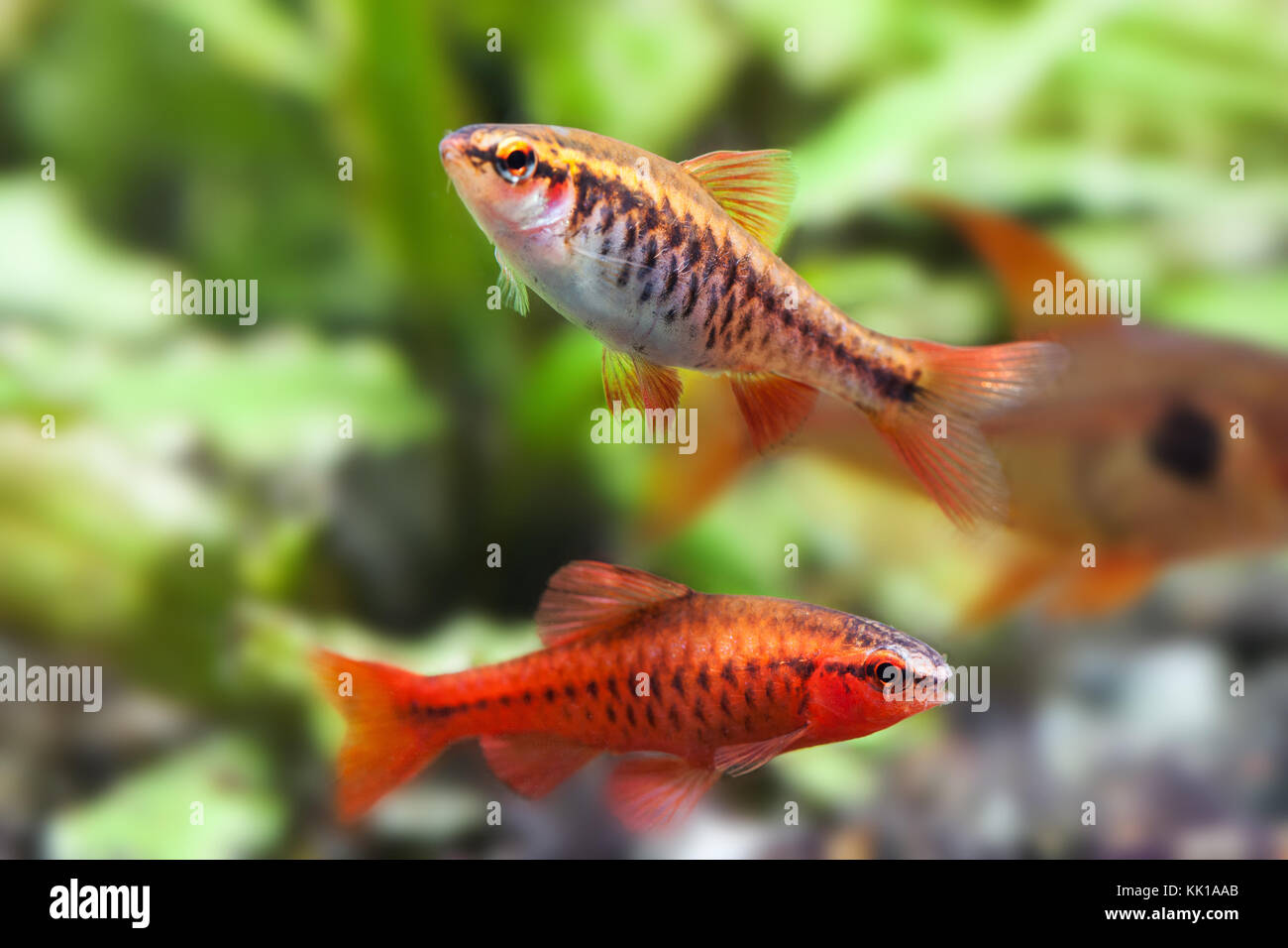 Aquaria still life scene, colorful freshwater fishes macro view, shallow depth of field. Cherry barb male fishes Stock Photo