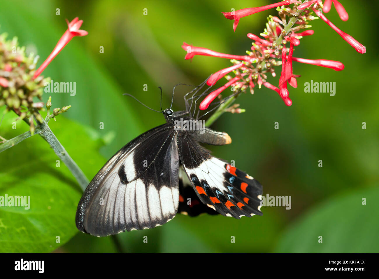Orchard swallowtail butterfly at the Australian Butterfly Sanctuary, Kuranda. - Stock Image