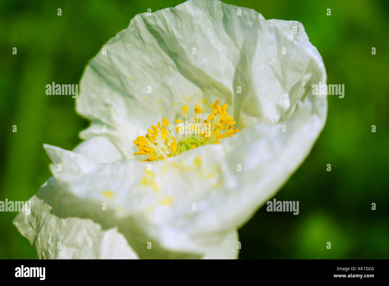 A simple close up picture of a rare and beautiful white poppy plant. Stock Photo